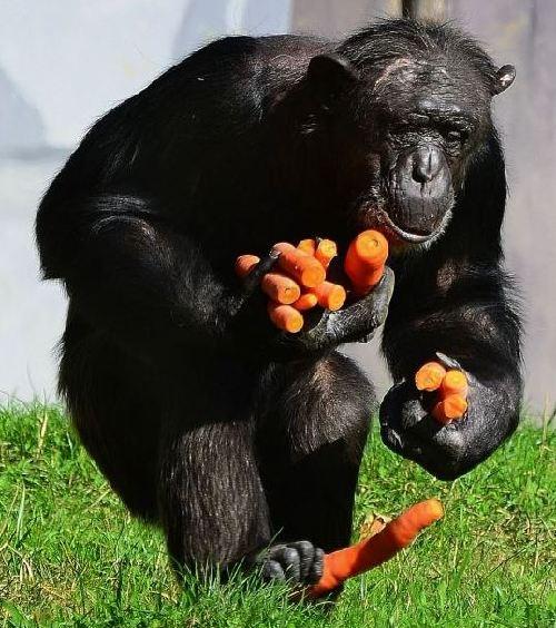 组图:摄影师抓拍德国动物园黑猩猩偷食胡萝卜