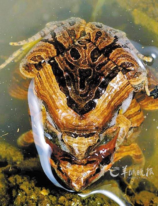 由于青蛙身体结构的特殊性,每到即将下雨的时候,它们都会敞亮地鸣叫不