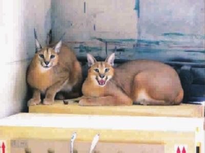 5只南非狞猫落户上海动物园