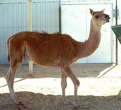 盘点 动物界中那些没有生育能力的混血动物图片