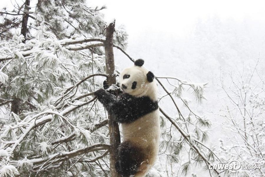 """大雪天气佛坪""""功夫""""熊猫爬树登高赏雪"""