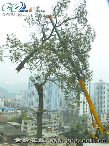 大型吊车正小心吊离泡桐树主干.