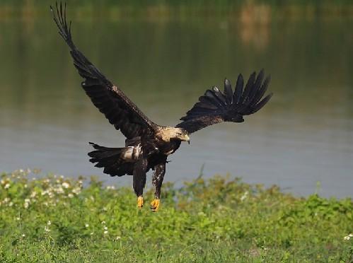 鸟中熊猫 秋沙鸭现江津 来看看国家一级保护的鸟