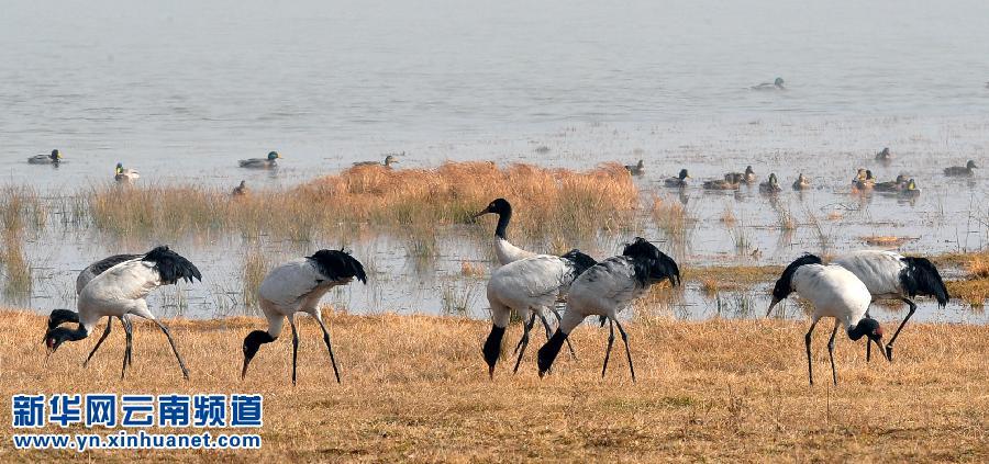 逾1700只黑颈鹤飞临大山包大海子越冬