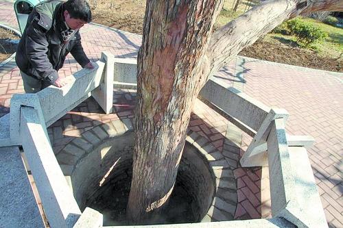 滚动新闻 > 正文   原标题:老树咋就栽井中?