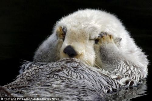 动物园水獭躺水中撒欢 双爪捂眼露超萌表情(图)