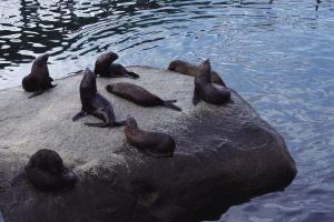 海狮在石头上玩耍