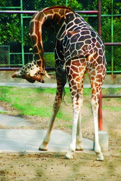 长颈鹿也能做瑜伽图片