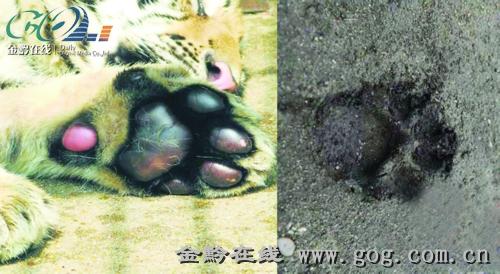 目前,森林警方初步断定,地面上的脚印是一大一小两只野兽留下的,它