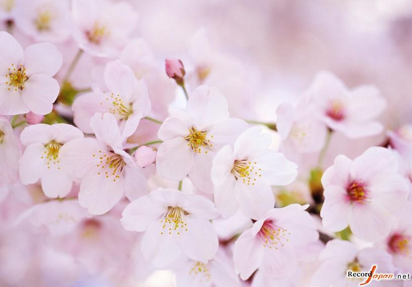 有关樱花的日文名曲,你会想起哪首歌呢?