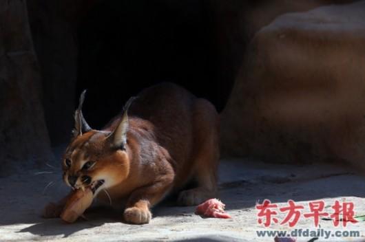 狞猫是来自非洲的食肉动物,以跳跃见长,能捕捉降落或起飞时的鸟类,小