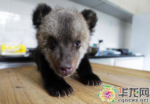 动物园真热闹 小宝宝集体卖萌 猩猩爱撒娇棕熊贪吃