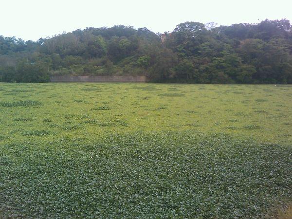 台湾峨眉湖优氧化严重 布袋莲狂长如大草原