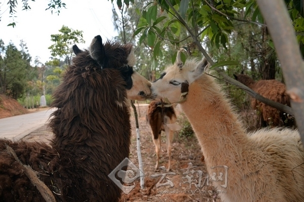 日前野生动物园候邀请5名小朋友一起来给羊驼做造型