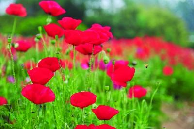 虞美人冬天开下开花