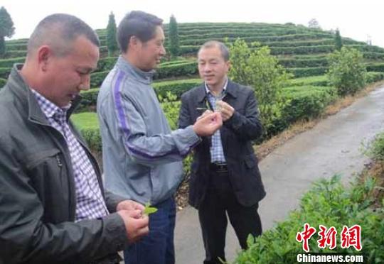 旅美博士后为浙江温州泰顺茶产业发展出谋划策