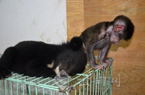 """云南野生动物园新生小熊引发熊狒""""宫斗"""""""