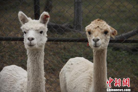 """为""""萌兽""""羊驼剪羊毛比赛在淹城野生动物世界举行"""