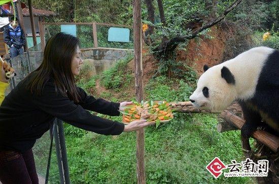 认养人亲手为思嘉包粽子 思嘉成为最幸福熊猫(图)