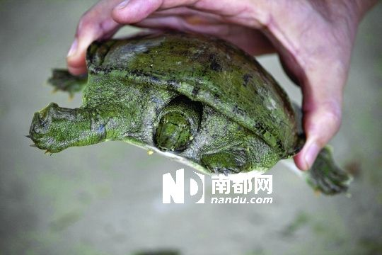 滚动新闻 > 正文   清林径水库,一只斑腿泛树蛙趴在被弃的农药瓶上.