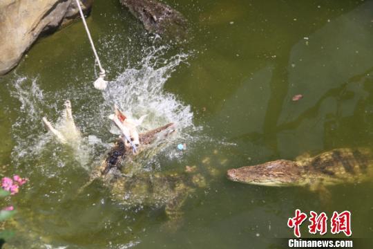 """常州动物园开放""""钓""""鳄鱼让民众体验"""