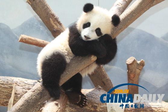 """原标题:旅美大熊猫产下双胞胎 动物园""""调包""""抚养宝宝 据美国媒体报道"""