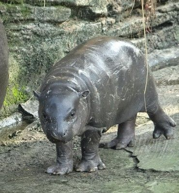 侏儒河马黝黑的体色乍看像黑猪,但相当可爱,令人印象深刻.