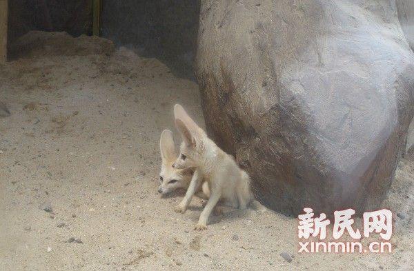 耳廓狐入住野生动物园 精灵大耳惹人爱