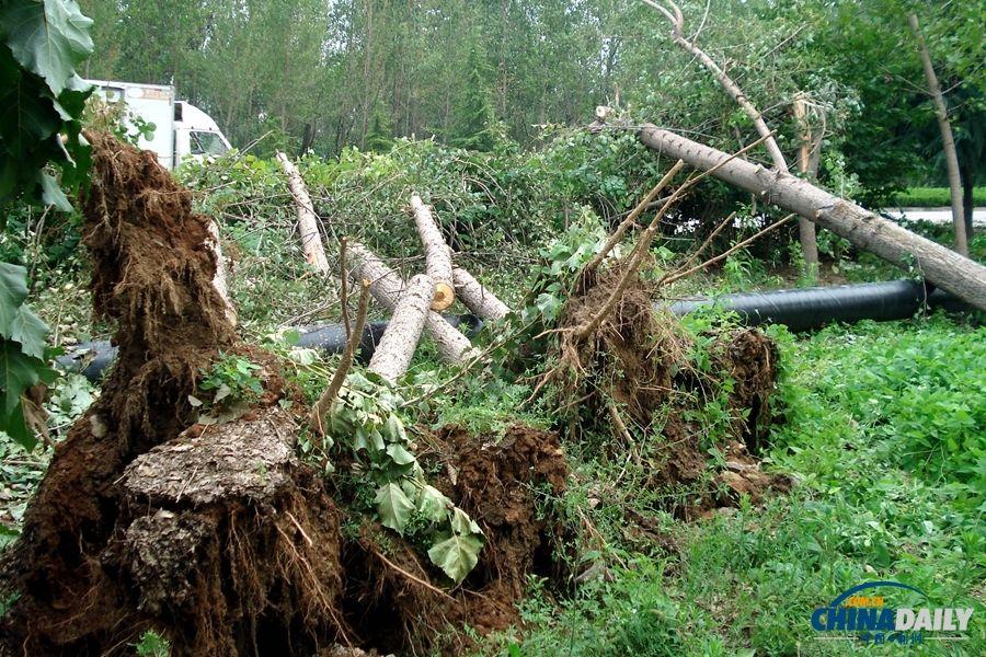 8月4日,龙卷风造成许多大树连根拔起或拦腰折断.