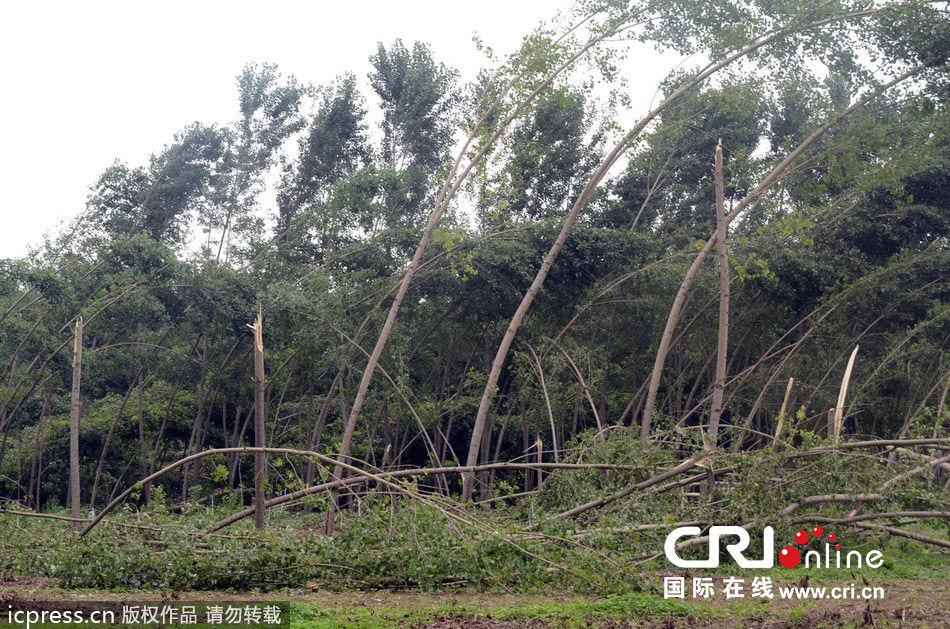杨树林被刮断.图片来源:京华时报-东方ic