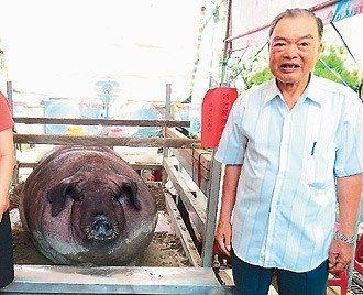 台湾老人黄阿日养出1756台斤的特等神猪.台湾《联合报》图