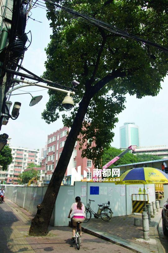 大树几年前就被一场大风刮得倾斜,但最近大树向着工地方向倾斜得越来