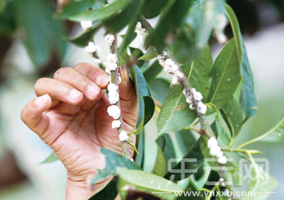 百棵玉兰树长满白蜡蚧 工人无奈棍打手摘