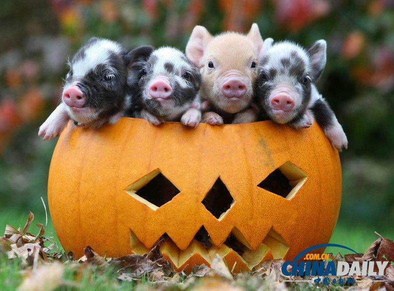 当地时间2009年10月21日,英国德文郡,万圣节将至,几只迷你小猪挤在雕刻的南瓜中,模样非常可爱。(图片来源:东方IC) 万圣节是西方传统节日,当晚小孩会穿上化妆服,戴上面具,挨家挨户收集榶果。其实不仅人类过节,连动物也要参与!瞧瞧照片中的那些可爱动物,对着南瓜爱不释手,模样又十分搞笑,它们用自己特有的方式来欢度万圣节。