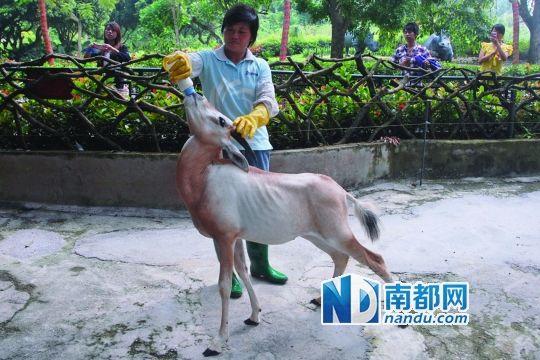 深圳野生动物园首只人工喂养成活的白长角羚与游客