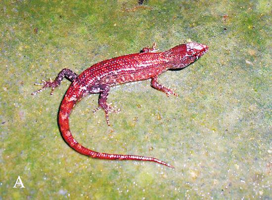白头蝰:稀有蛇种类,世界爬虫界公认最令人头疼的毒蛇之一,最早是由欧洲探险家在缅甸克钦山发现。栖息于海拔100-1600米的丘陵山区,见于路边、碎石地、稻田、草堆、耕作地旁草丛中,亦见于住宅附近,甚至进入室内,常在夜晚或晨昏时外出捕食。 据了解,华南濒危动物研究所的调查人员和车八岭国家级自然保护区的工作人员,于2011年4月至2012年5月期间,分别进行了8次调查。 被誉为物种宝库、南岭明珠的广东省车八岭自然保护区始建于1981年,1988年晋升为国家级自然保护区,2007年经联合国教科文组织批准加