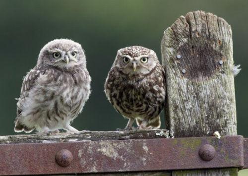 近日英国摄影师拍下猫头鹰妈妈给孩子喂食的画面,可爱小动物们的亲情