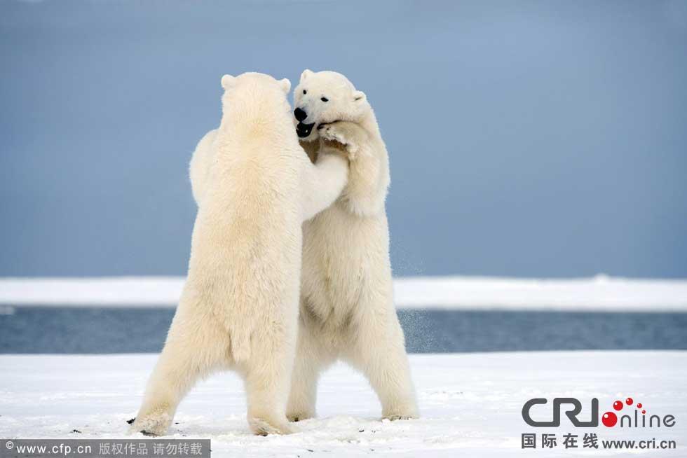 """两只北极熊""""相拥而舞"""".图片来源:barcroftmedia/cfp"""