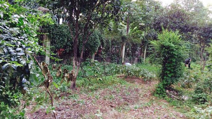 宁波市环西2号桥北的绿化带里,靠近海光新都小区的围墙旁边,绿地被改成了菜地。