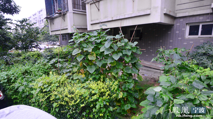 位于宁波市海曙区的关爱小区的绿化带上,黄瓜、番茄、辣椒、红薯…应有尽有。
