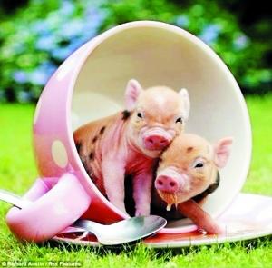 住拍摄了这些可爱的小猪