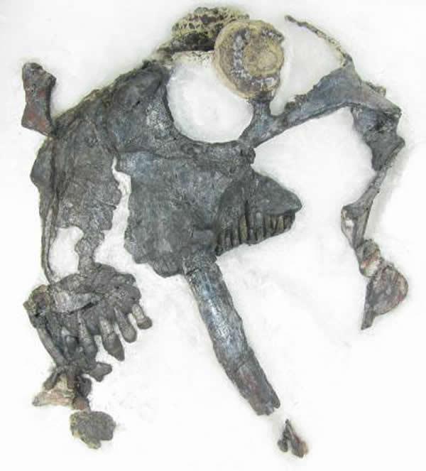 动物 剑齿/2亿6千万年前长着剑齿的奇特食草动物头骨化石(uux.cn)...