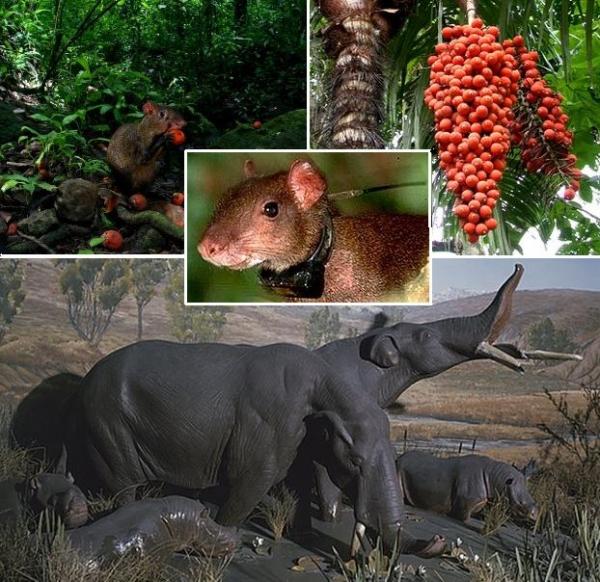 啮齿类动物传播大种子植物有很长历史