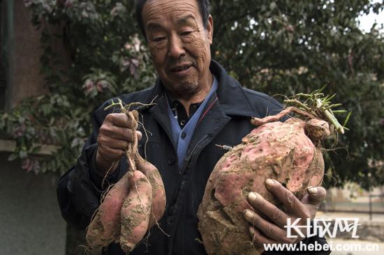 25斤巨型红薯图片