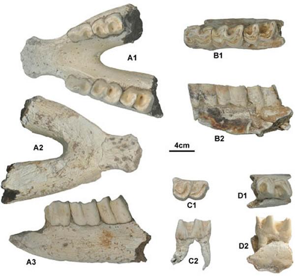 颊齿_三峡迷宫洞古人类遗址发现年代最晚梅氏犀化石_考古奇闻_看奇闻