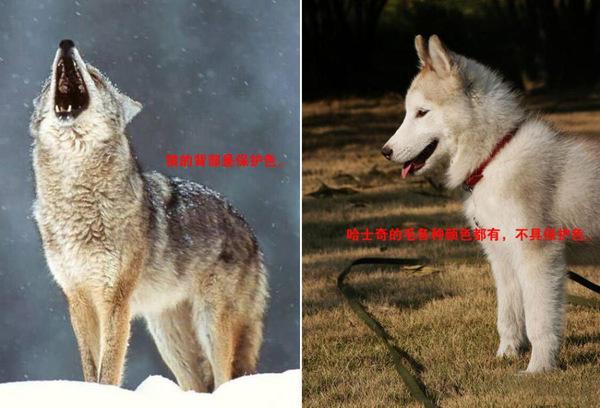 幼交狼�_告诉你狼和哈士奇的区别